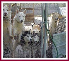 Some of the 76 mostly large breed dogs living in the small backyard of an animal hoarder who was reported by a visitor.