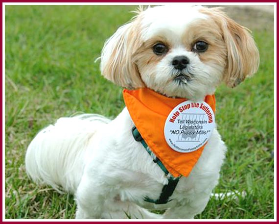 Bentley, a former puppy mill discard, at a 2008 Puppyworld petstore protest in Milwaukee, WI.