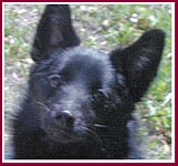 Captain, a puppy mill - pet store Schipperke with genetic defects that limited his life to 15 months.