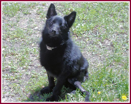 Captain, a puppy mill schipperke sold through Angels Pet World in Hudson, WI. Cappy only lived to be 15 months old..