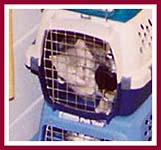Crated cat at a kitten mill which produces kittens for pet stores.