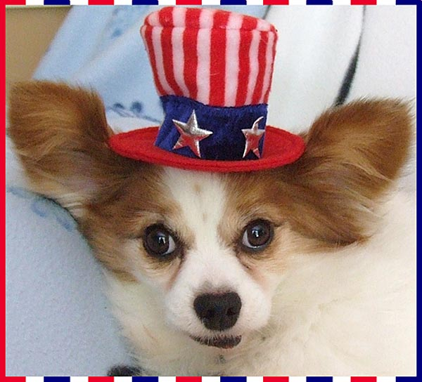 """Yankee Dooley"" the papillion was pulled from the 10 Mar 07 Thorp Dog Auction as ""unsellable"" because he was so sick."
