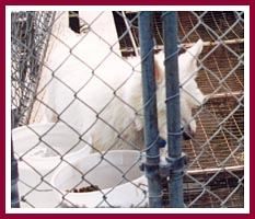 Could this Westie at Pretty Penny Kennels have been Scratch's mother?