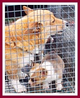 Mama Corgi and pup -- note size of the mesh in the cage bottom and the size of the dogs' feet.