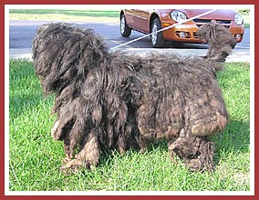 This dog actually came from a hoarder situation. Fully half of her weight consisted of feces-matted hair.