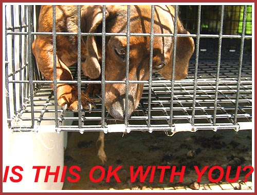 A pregnant dachshund in a wire mesh cage suspended over a tray full of filth.
