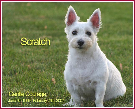 Scratch, a puppy mill Westie.