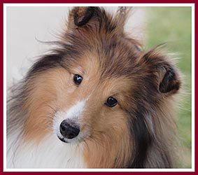 Healthy, happy sheltie pup from a conscientious hobby breeder.