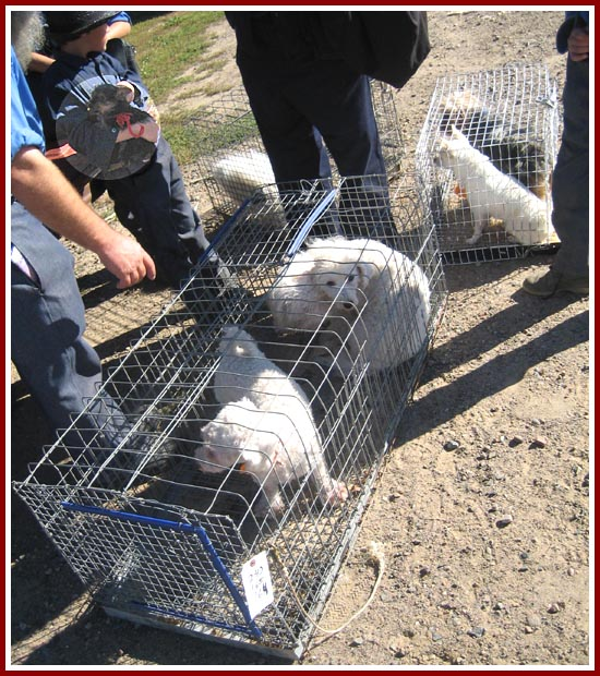 Guide Dog Rehoming >> Wisconsin Puppy Mill Project photo album, To market, to market...dogs loaded into a pickup after ...