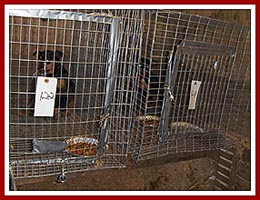 Nervous dogs awaiting their fate in dark, dirty cages at the 2 June 97 Thorp Dog Auction, Horst Stables, WI