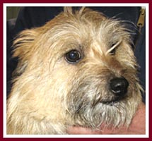 Carol the Cairn Terrier. Her seller did not know that Carol was pregnant when she was sold at the 10 Mar 07 Thorp Dog Auction, so her puppies were born safe in a rescue.