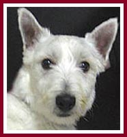 Charlie was sold as a purebred West Highland terrier.
