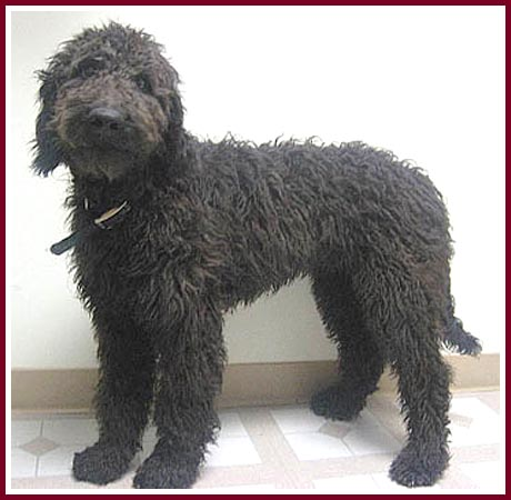 black goldendoodle puppy. This big lack dog is Chip the