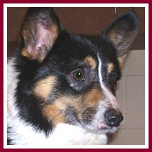 Petey the male corgi was sold as a female!