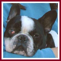 Cory the French Bulldog has eye problems that must be corrected by surgery.