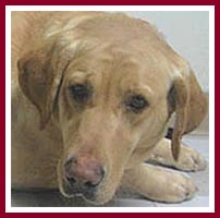 Precious Lady, a scarred golden lab, was purchased at the Thorp Dog Auction, 10 March 07