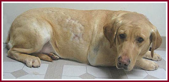 Precious Lady, a golden lab, was sold as pregnant. She was just morbidly obese.