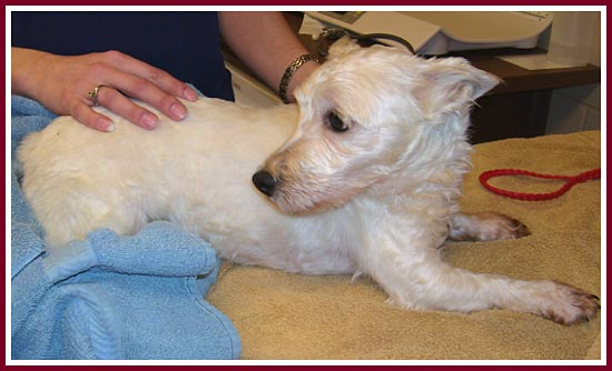 Whitey is listed as a purebred West Highland Terrier and is terrified of everyone.