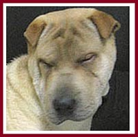 Woo the Shar Pei cannot open his eyes because of entropian eyelids.