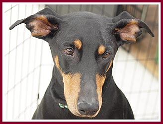 Breeder dogs like this dobie are assured a better quality of life thanks to Act 90's licensing and inspection program.