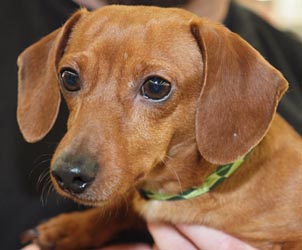 This little shelter doxie found a new home at a Jan 2012 adoption event.