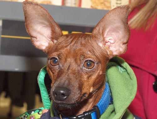 Miniature MinPin, surrendered to a reputable rescue by a breeder, looks for a home at a Jan. 2012 adoption event.