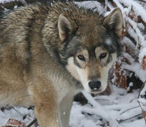 ... Mill Project, Inc.: Wolf hunting with dogs in Wisconsin -- letters